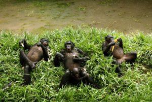 bonobos-chilling